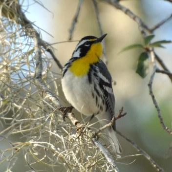 Yellow-throated Warbler - Ed Konrad