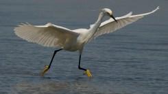 Snowy Egret dance with golden slippers - Ed Konrad