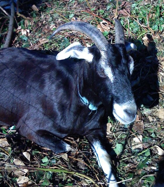 goats-head.jpg