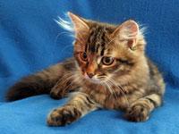 Siberian kitten Mitzi