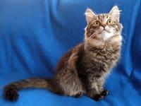 Siberian kitten Mira