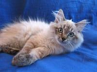 Siberian kitten Oscar