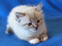 Siberian kitten Leo
