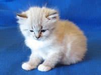 Siberian kitten Linus