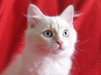 Siberian kitten Alfie