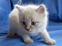Siberian kitten Bailey