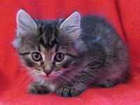 Siberian kitten Cleo