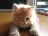Siberian kitten Cosmo