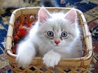 Siberian kitten Daphne