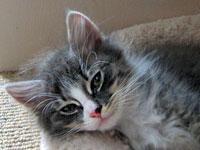 Siberian kitten Dougal