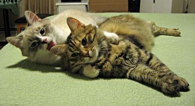 Siberian cats Harley and Calina