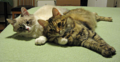 Siberian cats Harley and Calina