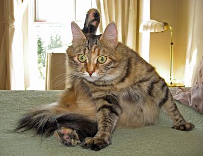 Calina - pregnant female Siberian cat