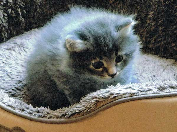 Siberian kitten Elu at 4 weeks old