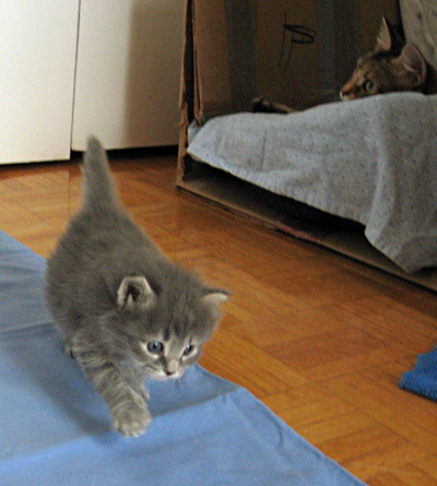 Siberian kitten Elu leaves the nest, Sept 4 2011