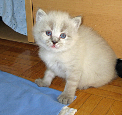 Siberian kitten Elmo leaves the nest for the first time, aged 23 days, Sept 4 2011