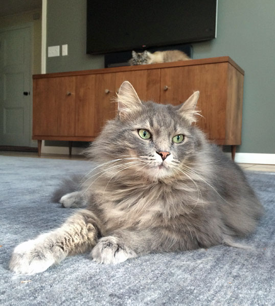 Male Siberian cat Elu at 3 years, 8 months old