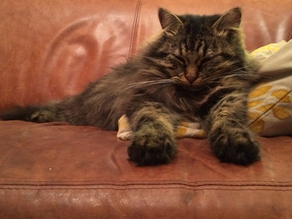 Siberian cat Alexander on his 2nd birthday, 5 May 2014