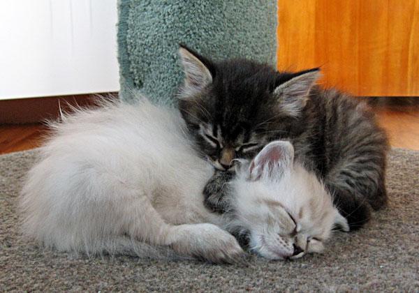 Siberian kitten Ariana at 4 1/2 weeks