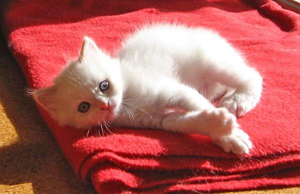 Siberian kitten Alfie, age 5 weeks
