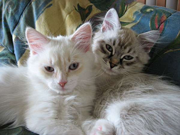 Siberian kittens Alfie and Ariana at 12 weeks old.