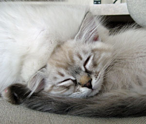 Siberian kitten Ariana rests her head against brother Alfie
