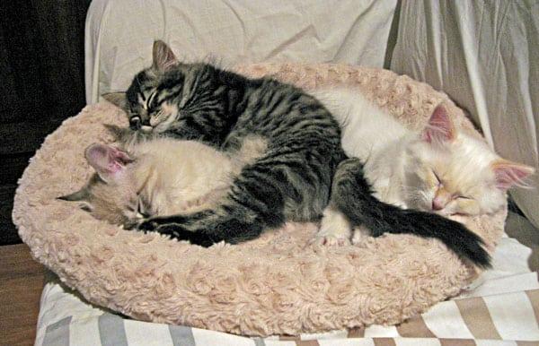 Siberian kittens Ariana, Alexander and Alfie