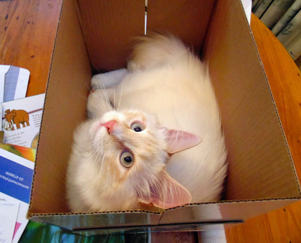 6-month-old Siberian kitten Caesar resting in a box, 16 Mar 2013