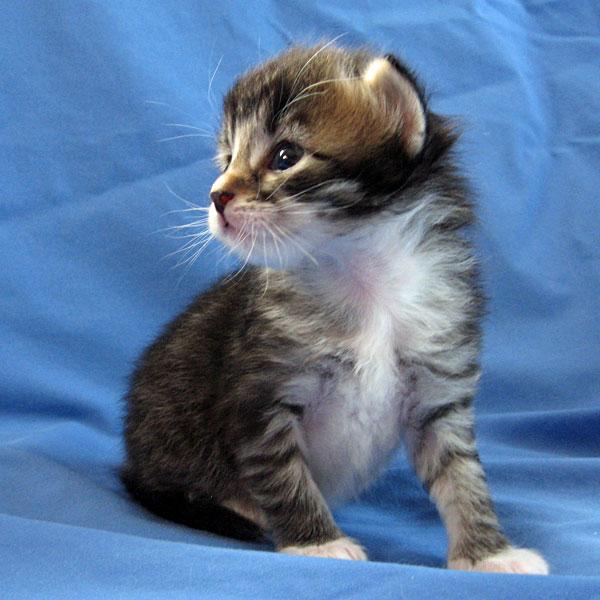 Siberian kitten Biko at 17 days old