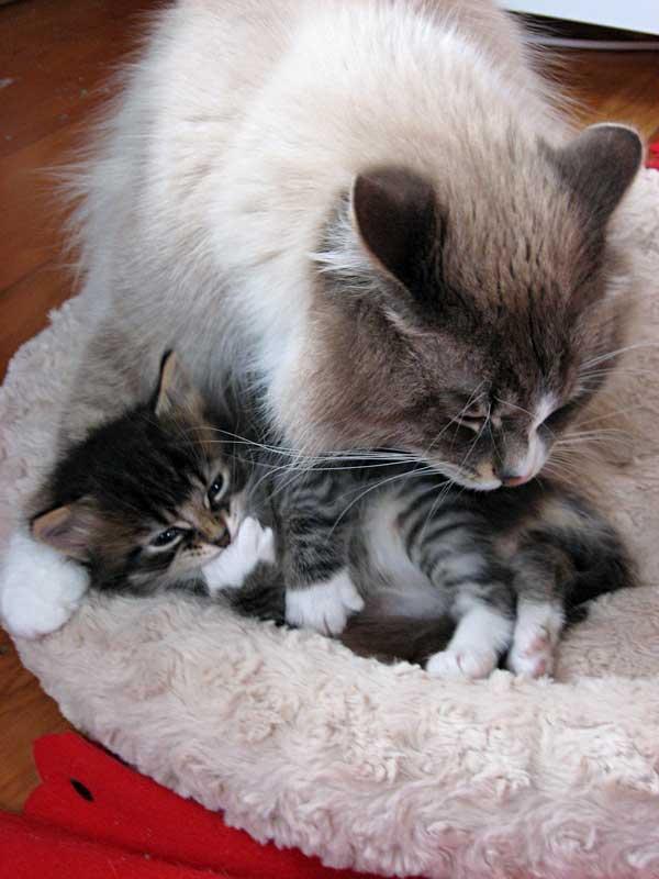Male Siberian kitten Biko with his father Harley