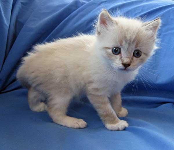 Female Siberian kitten Byron