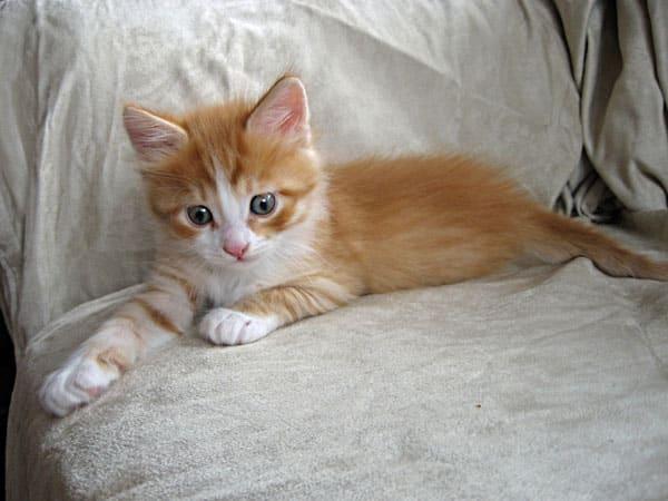Male ginger Siberian kitten Barney-Remy   Seacliffe SiberiansSeacliffe ...