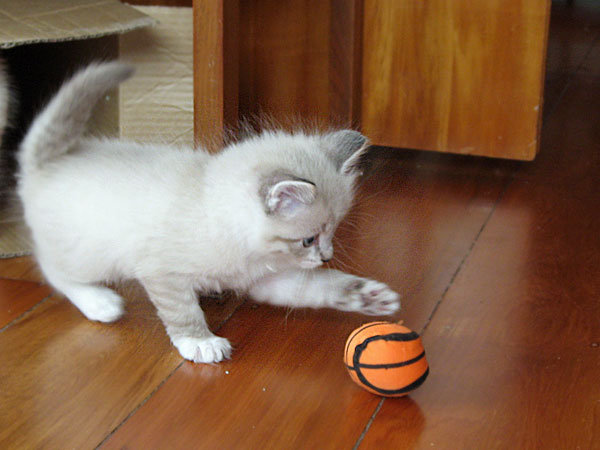 Siberian kitten Byron