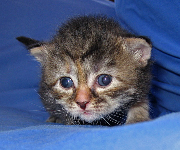 Female Siberian kitten Coco at 15 days old