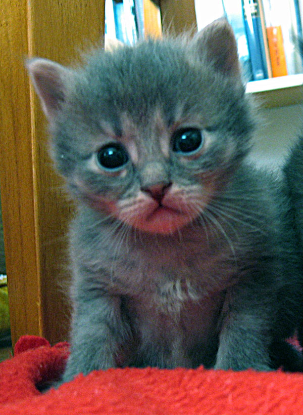Female Siberian kitten Caci at 20 days old