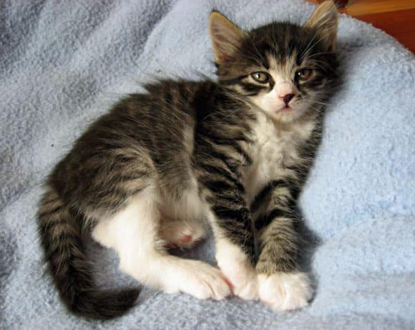 Female Siberian kitten Crissa