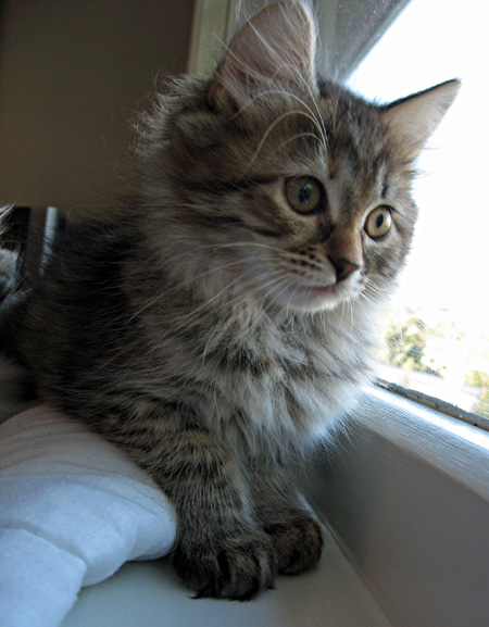 Siberian kitten Coco gazes out the window