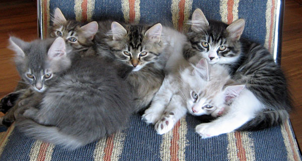 Five Siberian kittens cuddle up