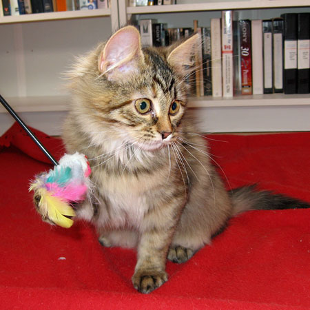 Female Siberian Coco plays with a new toy