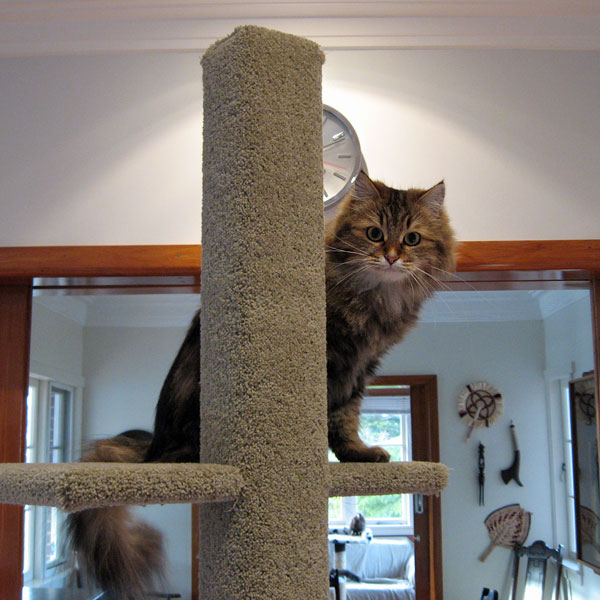 Cici tries out the latest 2-metre tall Super Scratcher Deluxe climbing post fresh out of the Seacliffe Siberians workshop. 6 June 2014