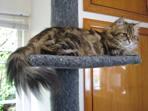 Siberian cat Cici at five years old, 8 Nov 2017