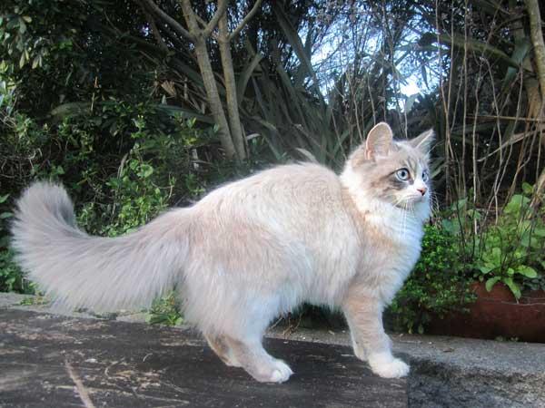 5-month-old Siberian kitten Saffy