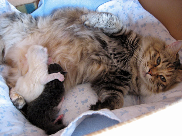 Siberian female Calina with the two kittens in her D Litter at 5 days old