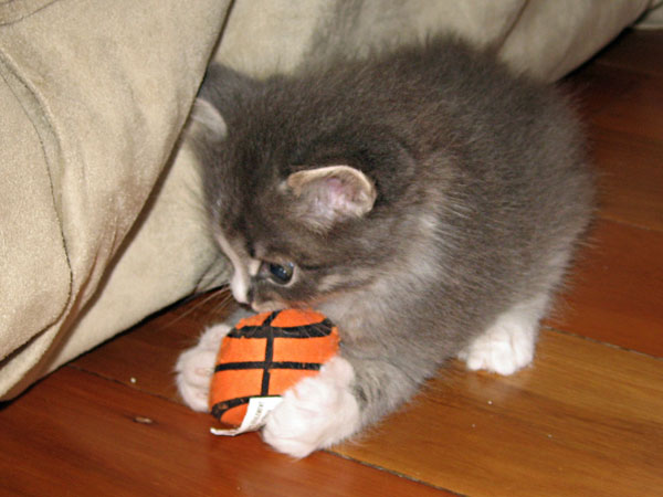 5-week-old Siberian kitten Dougal plays with a ball