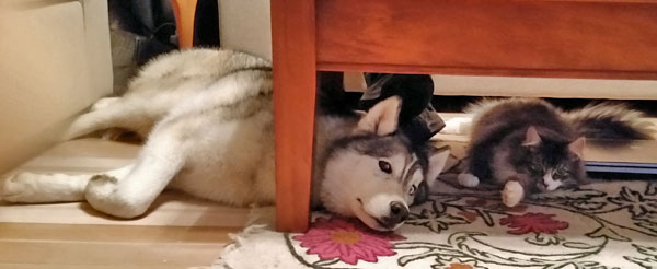 Siberian cat Farley and Siberian husky Ada