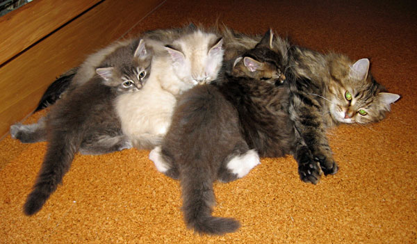 F Litter Siberian Kittens With Their Mum Cecilia