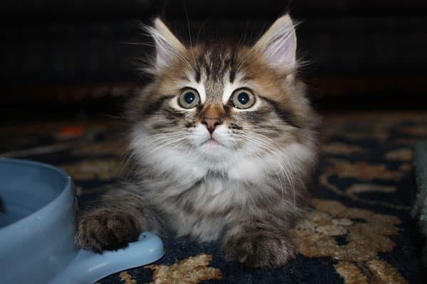 Siberian kitten Felix at 10 weeks old