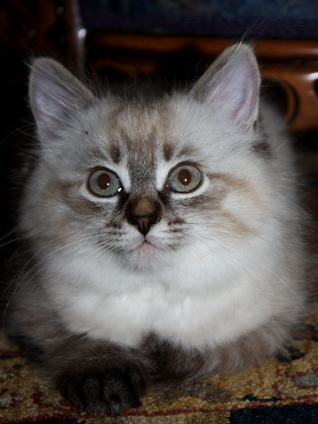 10-week-old Siberian kitten Freya