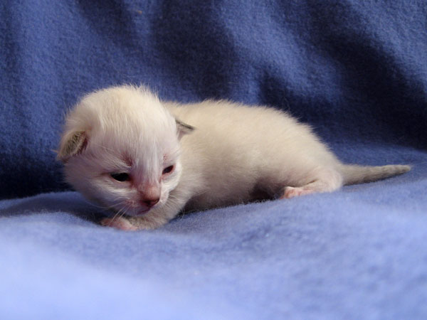 Male colourpoint Siberian kitten Foster at 15 days old