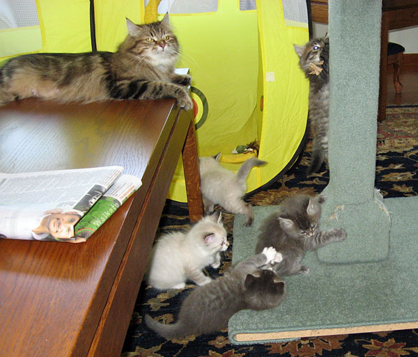 Cici watches over her 9-week-old F Litter kittens